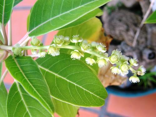 flor del bonsai de ombu