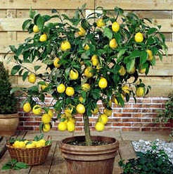 lemon tree in container