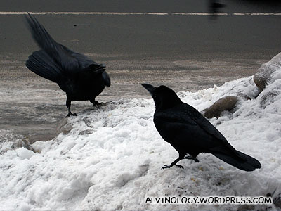 Giant crows - they are at least twice the size of their Singapore cousins