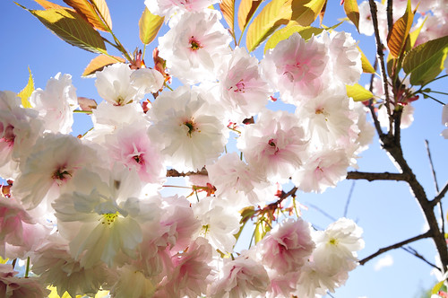 a double flowering cherry tree_37