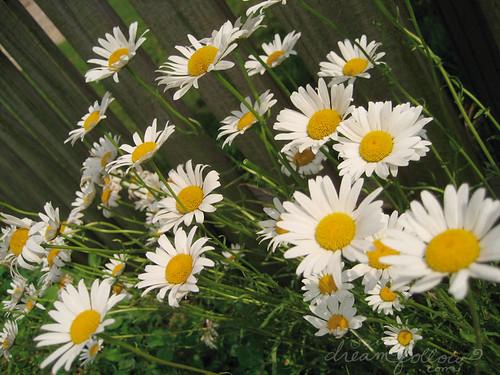 wild daisies