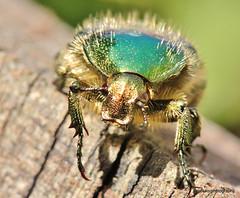 Cetonia aurata, rose chafer (8) (Geckoo76) Tags: animal bug insect beetle rosechafer cetoniaaurata scarabaeidae goldsmithbeetle greenrosechafer