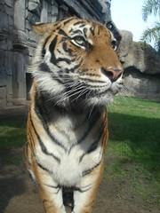 Tiger, 2