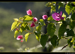 back lit (Diji's Photography) Tags: india flower nature closeup canon eos sigma kerala bougainvillea dslr 18200 dfc 400d malayalikkoottam kfm3 malayalikkottamkfm3