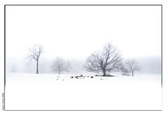 Snow and Fog (Insight Imaging: John A Ryan Photography) Tags: trees winter snow toronto ontario nature landscape march 2008 aficionados pentaxk10d justpentax goldenvisions wwwinsightimagingca johnaryanphotography