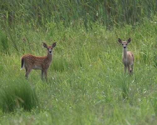 Nervous Deer