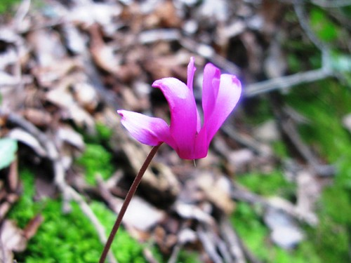 Cyclamen grow wild all over Italy.  I think that's really cool.