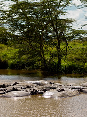 Hippo Pod (wwarby) Tags: africa tanzania abroad animal family group hippo hippopotamus holiday holiday2008africa lake mammal nature outdoors plant plants pod safari tree vacation water wild wildlife