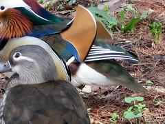 cubist duck love