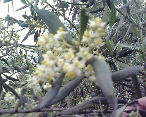 أزهار الزيتون