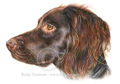 Kleiner Munsterlander coloured pencils (hunden) Tags: kleiner colouredpencils munsterlander coloredpencilportrait