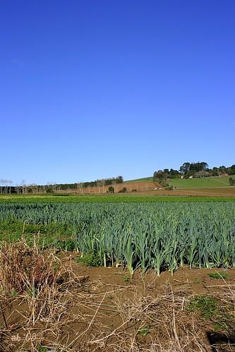 leeks in pukekawa hill