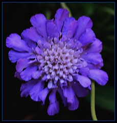 SCABIOSA, FROM THE GARDEN, A PERENNIAL (Lynn English-catching up) Tags: supershot fantasticflower mywinners abigfave supershots crystalaward citrit bestofyours betterthangood theperfectphotographer breathtakinglybeautiful naturalmasterpiece flowerfloreria flickrsfantastiflowers
