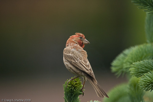 House Finch (1 of 2)