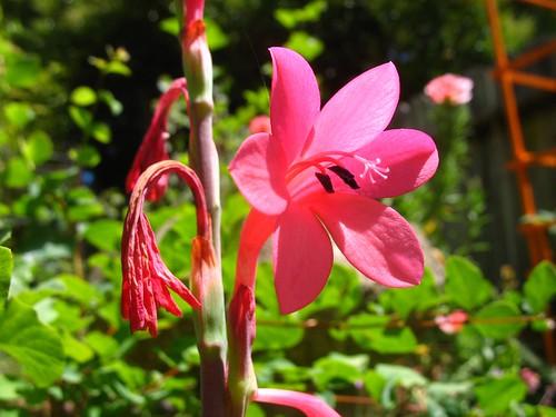 Watsonia coccinea
