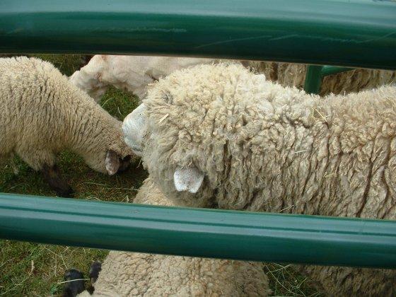 stonemills08 sheep