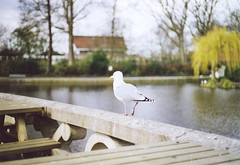 (*Alyssa.) Tags: film zoo blijdorp seagull scan expiredfilm 50mmf18 canoneos50e lastshotonthefilm