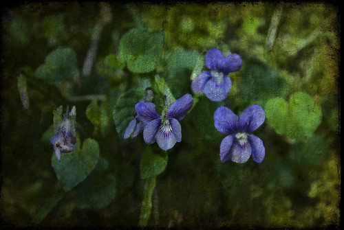 The Violets of Farthings Hook