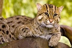 zoo kat chat cincinnati gato katze gatto fishingcat