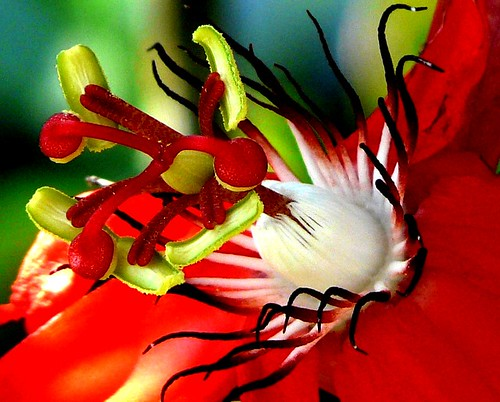 ..Passion flower..