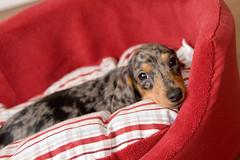 sweet face (toddlerazzi) Tags: dog cute puppy sweet dachshund pixie dapple