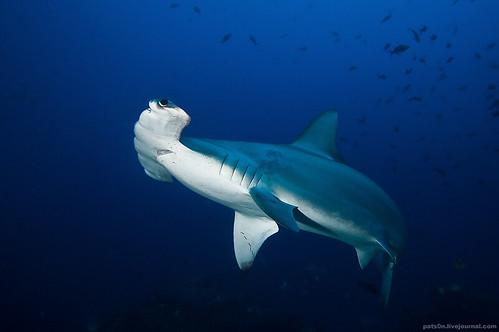 ... sharks carcharhinus obscurus and smooth hammerheads sphyrna zygaena
