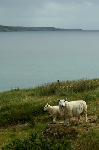 Sheep looking over the scottish highlands and the infinite of the sea