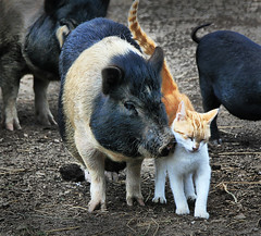 Best Friends Forever (` Toshio ') Tags: friends animal animals cat feline pennsylvania farm kitty pa pigs cuddle purr hog mammals rub bestfriends pwg toshio abigfave impressedbeauty