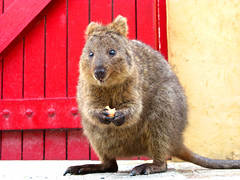 Quokka! (Filor) Tags: apple canon island oz under australia down powershot explore perth western wa aussie marsupial occidentale afs rotto rottnest isola quokka explora g9 intercultura explored filor waati