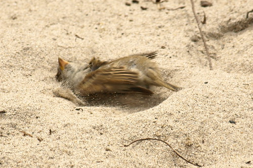 Bird Sand Bathing