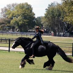 Brideless Gypsy Vanner (The Pelton Vanners Gypsy Vanner Horses) Tags: gypsyvanner gypsyhorse gypsycob