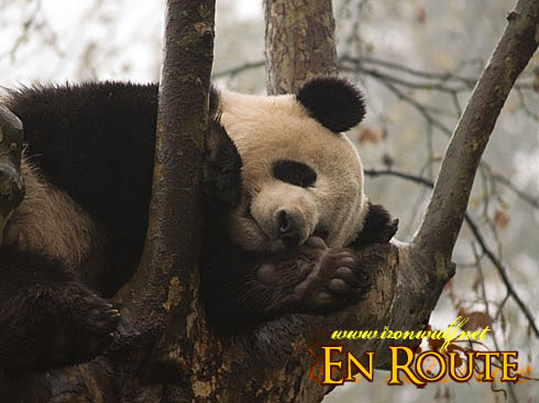 Panda in Slumber