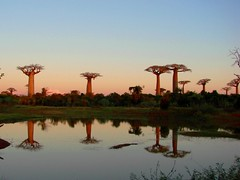 baobabs by the pound (daniel.virella) Tags: sunset nature madagascar morondava baobabs menabe baobabsalley adansoniagrandidieri