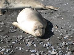 Fur Seal Dozing