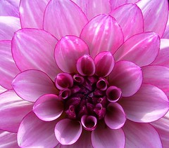 Dahlia - Perfectly Outlined in Purple (TLPhotography66 ~) Tags: dahlia flowers flower macro nature photography purple blossoms lavender dahlias peddles naturesfinest platinumphoto goldstaraward