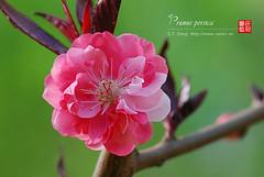 2008_04090072 (chinaphila) Tags: flower flora prunus cerasus rosaceae