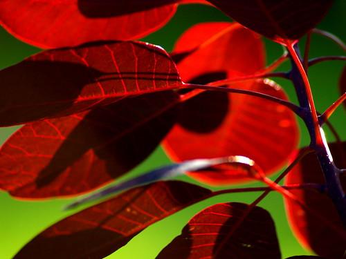 Purple leaf