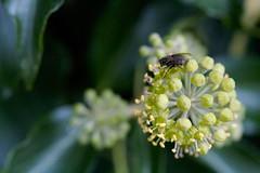 Fly (cindyli) Tags: england fly bud flowerbud
