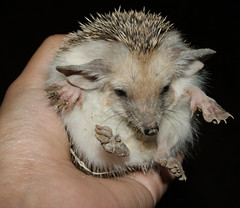 Hedgehog at Night - Conclusion (BlueLunarRose) Tags: baby cute nature animal night hedge hedgehog cuteanimal