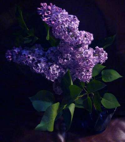 Lilac 3 by you.