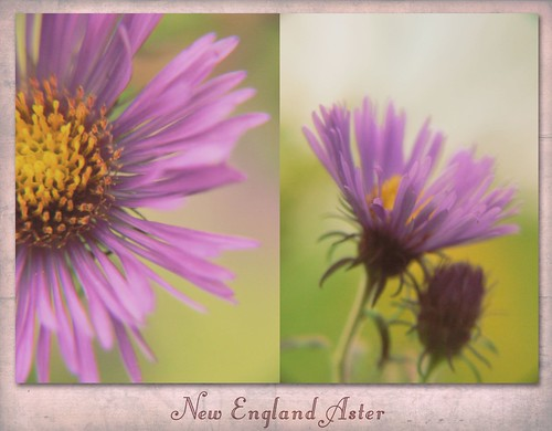 Aster Diptych