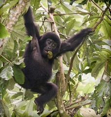 now what? (JuttaMK) Tags: africa mountain forest gorilla explore uganda d300 bwindi naturesfinest grouph inpenetrable juttamauekay