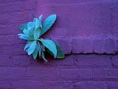 Wall Flower (justiNYC) Tags: plant flower wall brooklyn weird purple invasive
