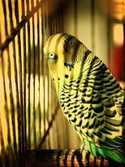 [ Pajarillocolorido ] (Romina O.   romigraphy.com) Tags: bird colors jaula colores pájaro pajarito rejas tonos atrapado