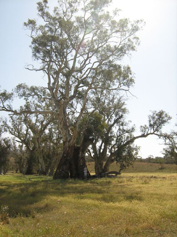 GIANT RIVER REDGUM