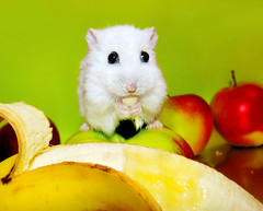 """I eat Banana!"" - Pompon (pyza*) Tags: winter pet white cute animal fruit rodent dwarf critter hamster hamsters pompon"