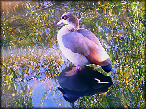 beautiful Egyptian Goose