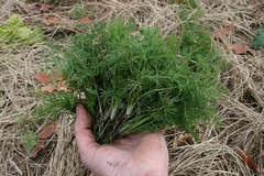 handful of dill