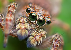 Sitticus fasciger Jumping Spider (Thomas Shahan) Tags: portrait macro face k vintage bug hair lens prime spider jumping eyes soft close asahi pentax takumar zoom box head arachnid flash small 28mm reversed dslr ist smc vivitar bellows softbox dl diffuser opo entomology arachnology arthropod macrophotography bayonet salticid palps salticidae thyristor sitticus terser justpentax