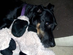 Lola_sheep110908